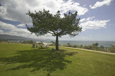 santa barbara: A single windblown tree growing on a green lawn at City College in Santa Barbara, Santa Barbara coastline, California