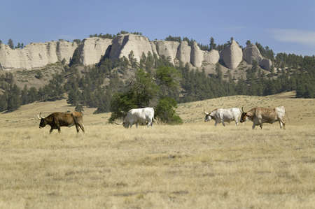 longhorn cattle: Texas Longhorn cattle grazing on land adjoining historic Fort Robinson, Nebraska Editorial