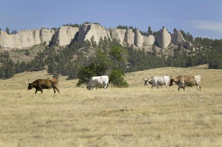 longhorn cattle: Texas Longhorn pastoreo de ganado en las tierras colindantes hist?rico Fort Robinson, Nebraska