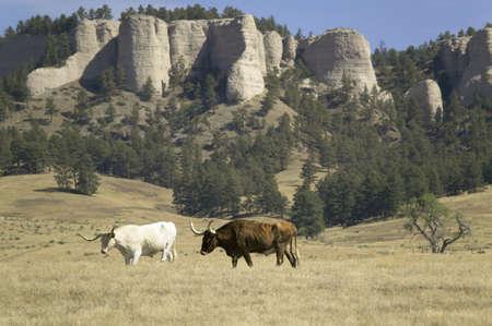 longhorn cattle: Texas Longhorn pastoreo de ganado en las tierras colindantes hist�rico Fort Robinson, Nebraska