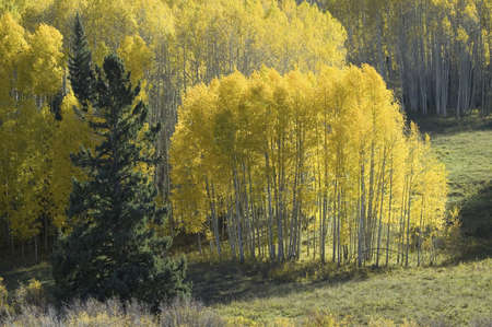 quaking aspen: Bright yellow Aspens near Crested Butte, Colorado