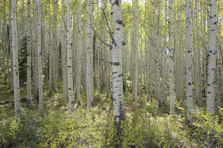 quaking aspen: Aspen grove in autumn near Telluride Colorado