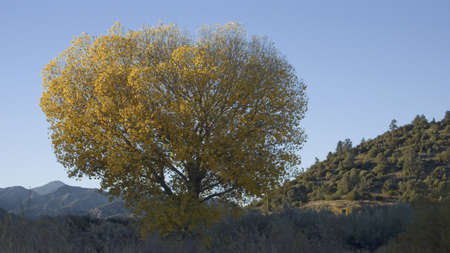 cottonwood  tree: Golden cottonwood with setting sunlight near highway 33 and Lockwood Valley road, California Editorial