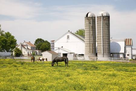Horses grazing in yellow field in front of Pennsylvania-style barn and silos in Lancaster, Pennsylvania