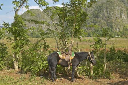 Un caballo atado a un árbol en el Valle de Viales, en el centro de Cuba Foto de archivo