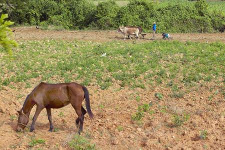 Bueyes, hombre y dos niños negros que ara el campo en el Valle de Viales, en el centro de Cuba
