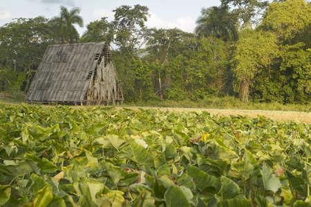 Hojas de tabaco crece en sol cerca de casa de tabaco en el Valle de Viales, en el centro de Cuba Foto de archivo