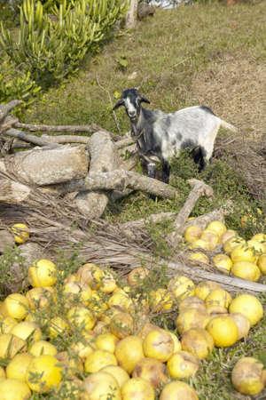 Cabra de pie delante de la toronja en un terreno en el Valle de Viales, en el centro de Cuba Foto de archivo