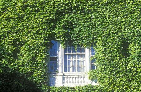 harvard university: Window framed by ivy,  Harvard University Editorial