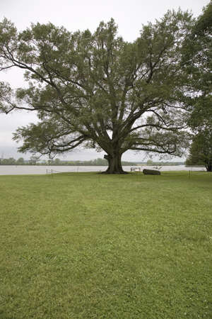 charles county: 350 year old Willow-Oak of Shirley Plantation on the James River, Virginias First Plantation founded in 1613 and Americas first home-based business, first to use slaves and operated for 12 generations by the Hill-Carter family. Editorial