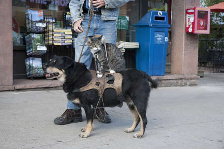 Trained rat sitting on cat which is on a dog in Telluride, Colorado