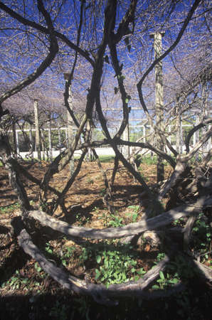 nc: Mother Vine, planted by  first English colonists at Roanoke, NC Editorial