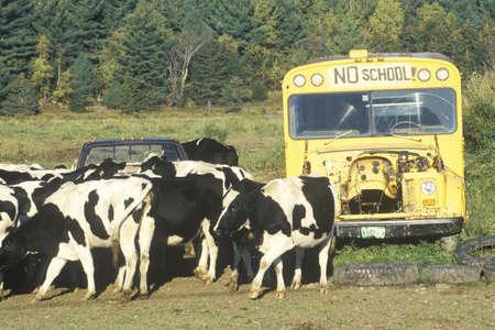 warren: A herd of cows grazing close to an out of service schoolbus, Warren, VT Editorial