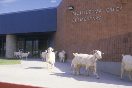 nm: Herd of goats wandering through elementary school grounds on an Indian reservations, NM