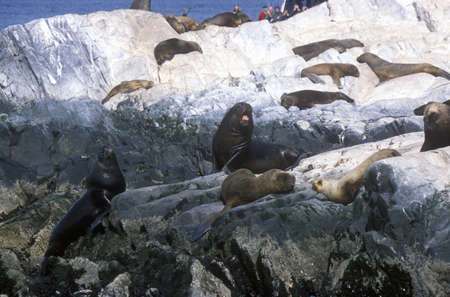 sightseers: Southern sea lions on Rocks near Beagle Channel and Bridges Islands, Ushuaia, southern Argentina Editorial