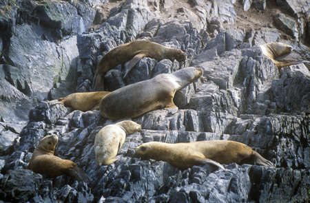 photographies: Southern sea lions on Rocks near Beagle Channel and Bridges Islands, Ushuaia, southern Argentina Editorial