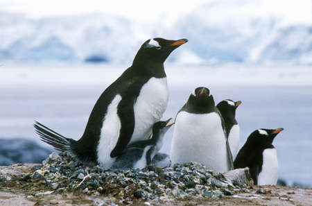 Gentoo penguins and chicks (Pygoscelis papua) at rookery in Paradise Harbor, Antarctica