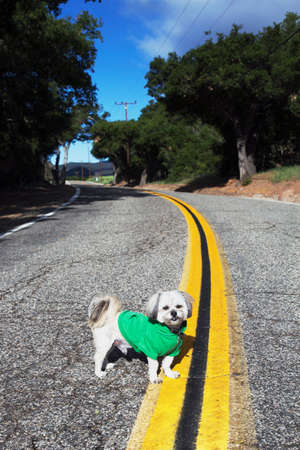 Shih Tzu Dog with green hoody on in middle of road on double yellow road, Ojai, California, USA