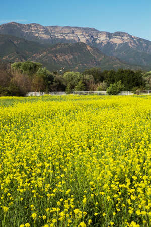 mustard plant: Yellow mustard and Topa Topa mountains in spring, upper Ojai, California, USA Stock Photo