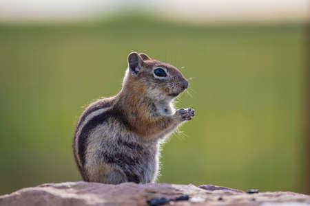 mesa: Ground squirrel, Hastings Mesa, Colorado, USA