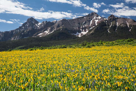 mules: Yellow Mules ear field and San Juan Mountains