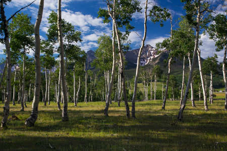 hastings: Aspen Grove and view of San Juan Mountains, Hastings Mesa, Ridgway, Colorado, USA