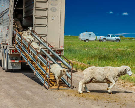 July 17, 2016 - Sheep ranchers unload sheep on Hastings Mesa near Ridgway, Colorado from truck Editorial