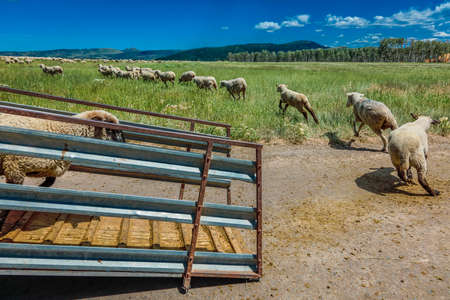 Sheep ranchers unload sheep on Hastings Mesa near Ridgway, Colorado from truck