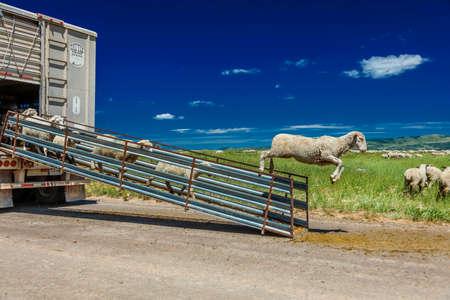 rancheros: 17 de julio de 2016 - Ganaderos de ovejas desembarcan ovejas en Hastings Mesa cerca de Ridgway, Colorado desde un camión