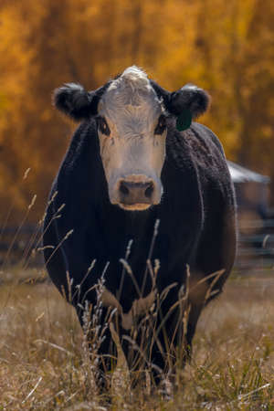 OCTOBER 2017, Angus Cow stairs into camera with autumn color behind
