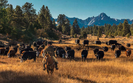 OCTOBER 2017, Ridgway, Col.orado: Cowboys on Cattle Drive Gather AngusHereford cross cows and calves of Double Shoe Cattle Company, Centennial Ranch, San Juan Mountains