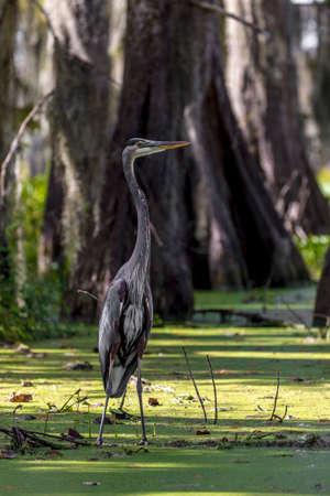 OCTOBER 14, 2018 - Lafayette, Louisiana, USA - Blue Heron in Cajun Swamp & Lake Martin, near Breaux Bridge and Lafayette Louisiana