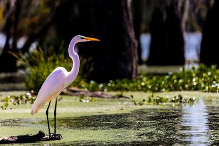 OCTOBER 14, 2018 - Lafayette, Louisiana, USA - White Egret im Cajun Swamp & Lake Martin, near Breaux Bridge and Lafayette Louisiana Foto de archivo - 111979632