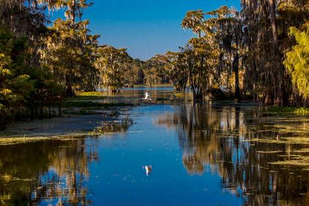 OCTOBER 14, 2018 - Lafayette, Louisiana, USA - White Egret flies in Cajun Swamp & Lake Martin, near Breaux Bridge and Lafayette Louisiana Publikacyjne