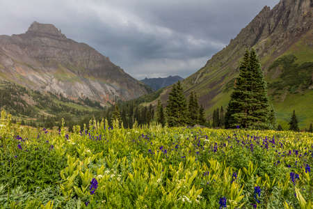 July 20, 2018 - OURAY COLORADO USA - Yankee Boy Basin mountain flowers in bloom, outside of Ouray Colorado Redakční