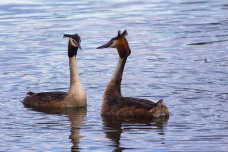 crested duck: Geese love in the lake Stock Photo