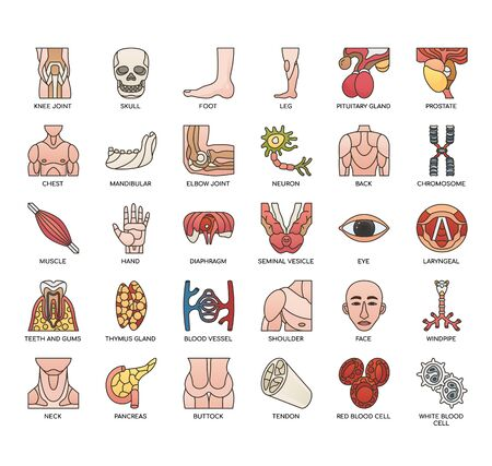 Human Organ, Thin Line and Pixel Perfect Icons Vectores