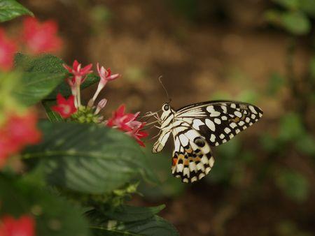 incarnadine: Butterfly