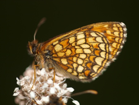 flier: butterfly