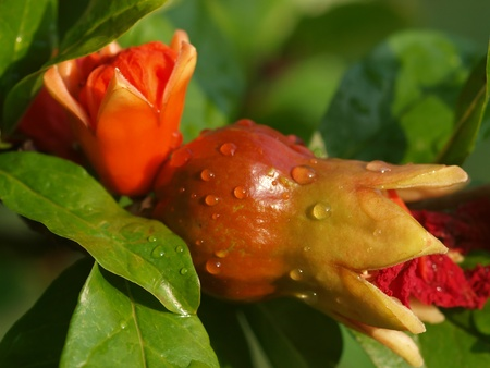 POMEGRANATE - FLOWER