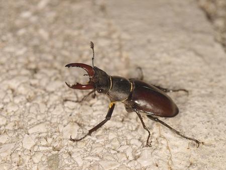 sstag beetle photo