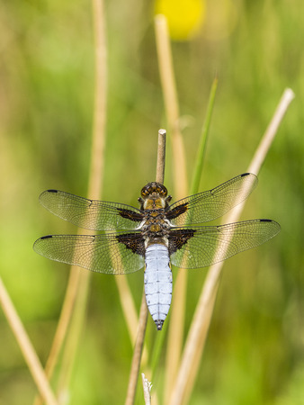 pollinators: DRAGONFLY Stock Photo