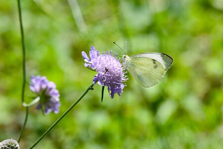 BUTTERFLY Large White