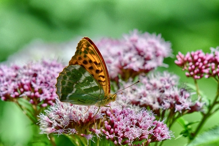 BUTTERFLY Silver-washed Fritillary