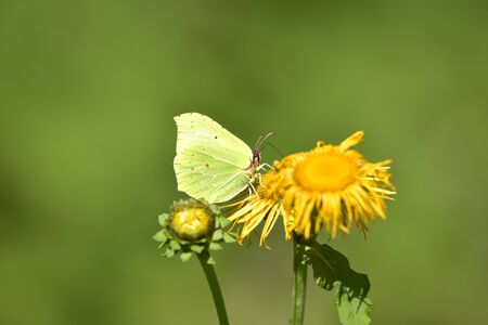 BUTTERFLY CITRON