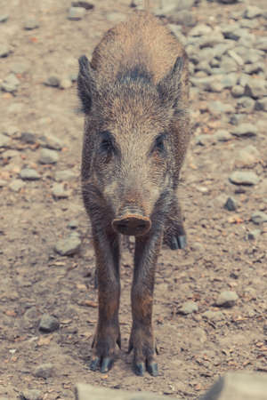 Central European boar pig young