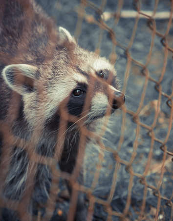 Raccoon Looking up behind the fence