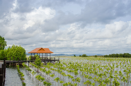 small growing mangrove in thailand againt a wooden pavilion