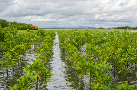 mangrove planting project area in thailand for preserve the mangrove forest