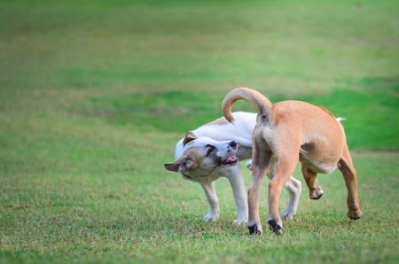 two thai dogs playing in green meadow Stock Photo
